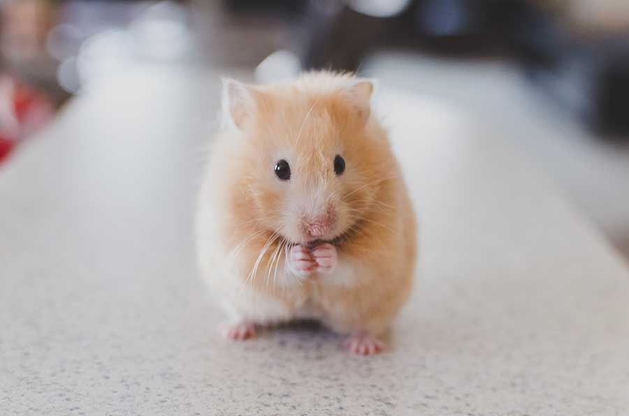 Syrian Hamster Profile Pets Happy Hour Hamsters As Pets Hamster Names Cute Hamsters