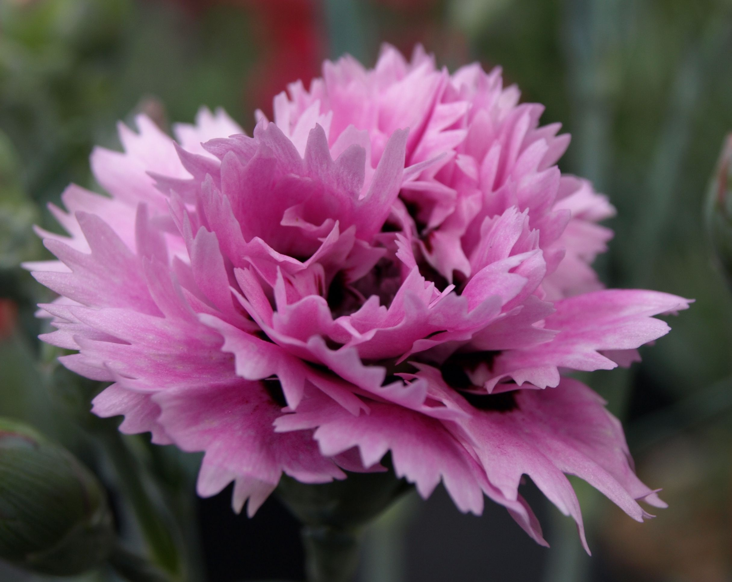 A selection of some of the Alpine Pinks I grow and sell here in East Yorkshire