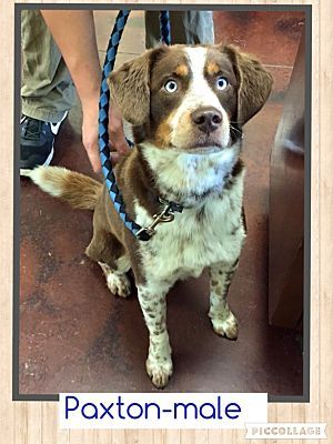 Australian Shepherd Labrador Retriever Mix Dog For Adoption In