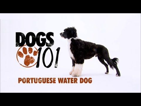 Dogs 101 Portuguese Water Dog Eng Portuguese Water Dog