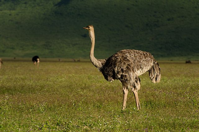 Ostrich (Female) by Ganesh raghunathan, via Flickr