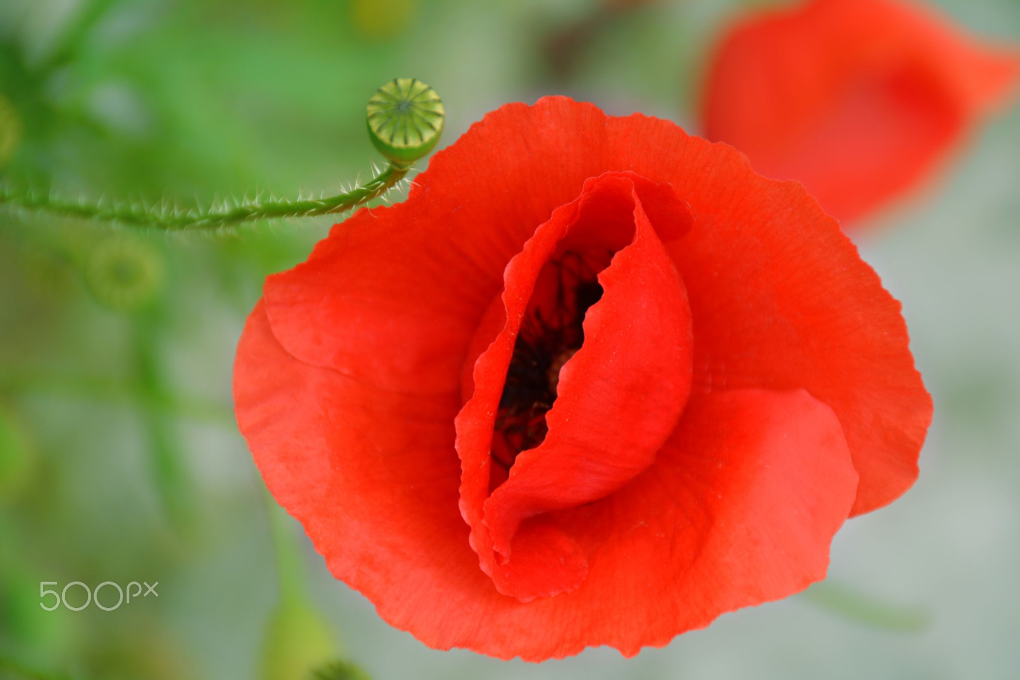 Poppy Colors Poppy Flower Pop Colors Like A Poppy Flower Nature