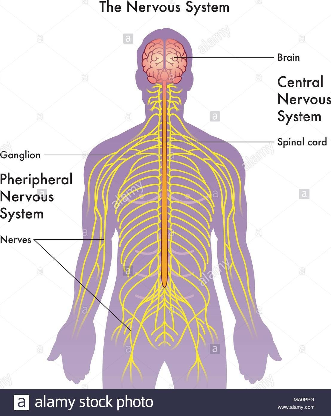 Labeling The Nervous System Central Nervous System Diagram