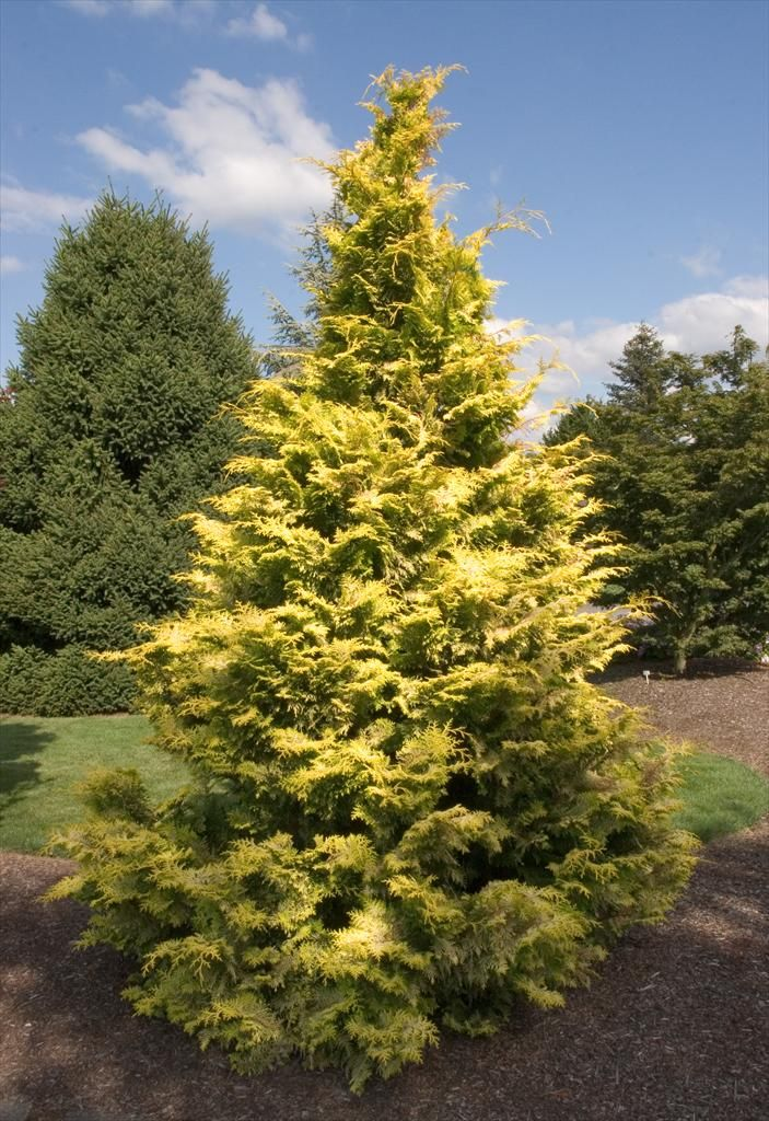 Goldilocks hinoki false cypress 15m x 10m slow growing for Specimen evergreen trees small