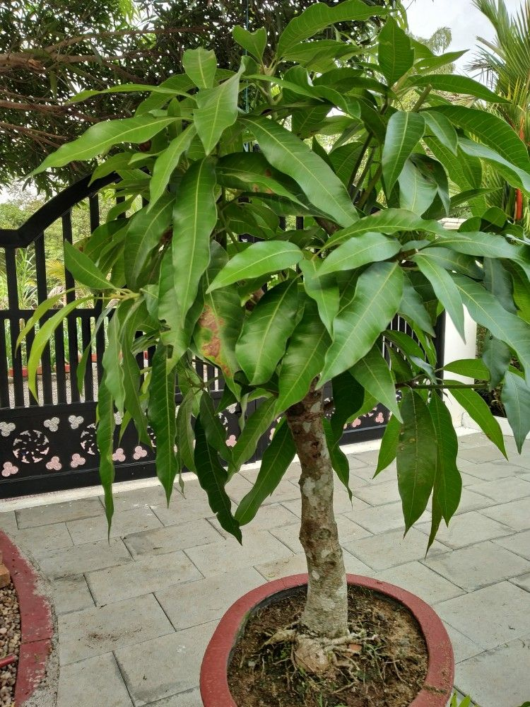Mango Tree Bonsai Bonsai Garden Plants Bonsai Plants