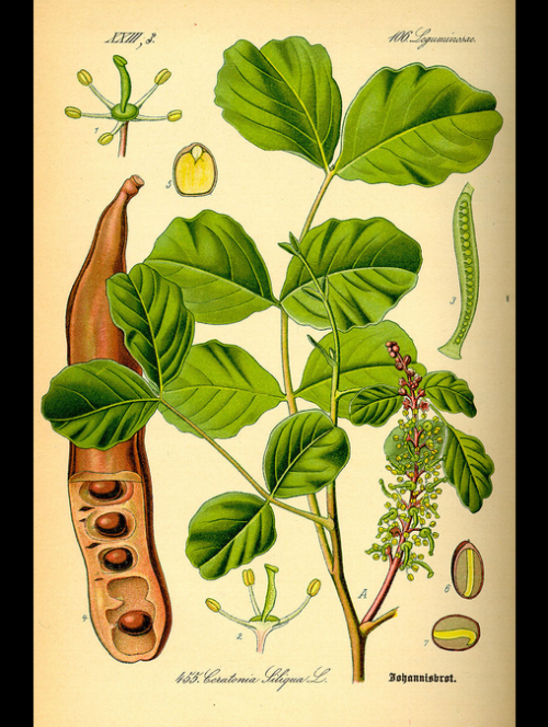Related image | Botanical prints, Moringa tree, Botanical ...
