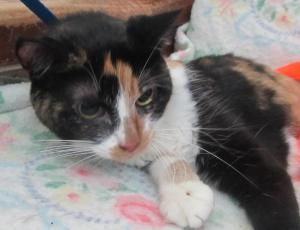 Shellie is an adoptable Calico Cat in Salem, MO.  Shellie and six other cats came into the shelter when the senior couple with whom they had made their home both developed serious medical conditions (...