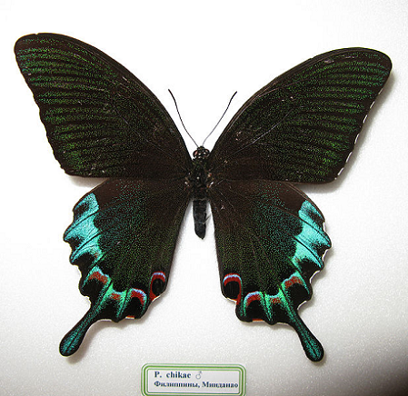 The Luzon Peacock Swallowtail is a uniquely beautiful species of Lepidoptera. This butterfly is also (sadly!) extremely rare and is rarely photographed.