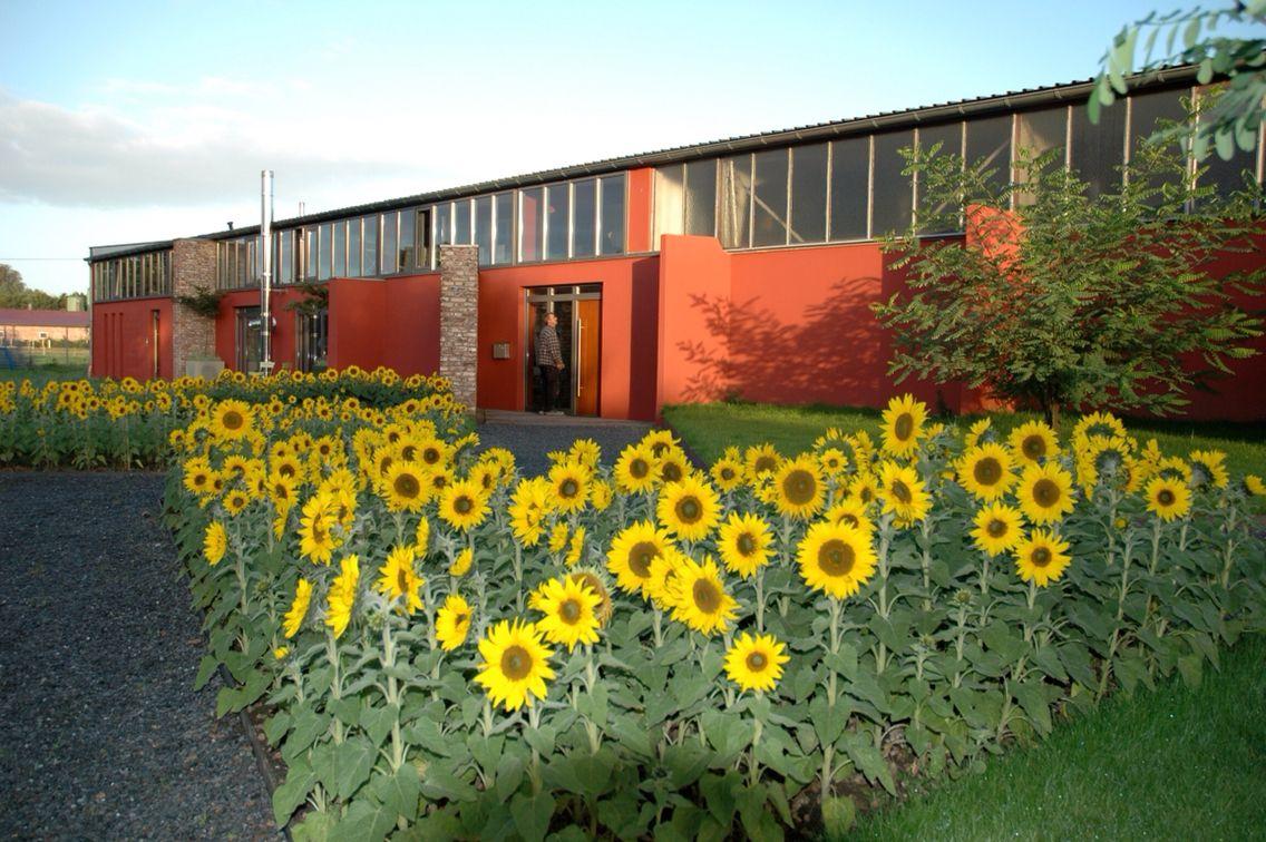 Sonnenblumen Harms & Müller Büro 2007
