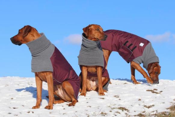 Rhodesian Ridgebacks in their Burgundy Red Maroon Winter Dog