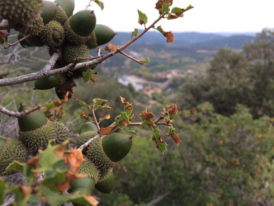 Kermes oak on L'Esquirol