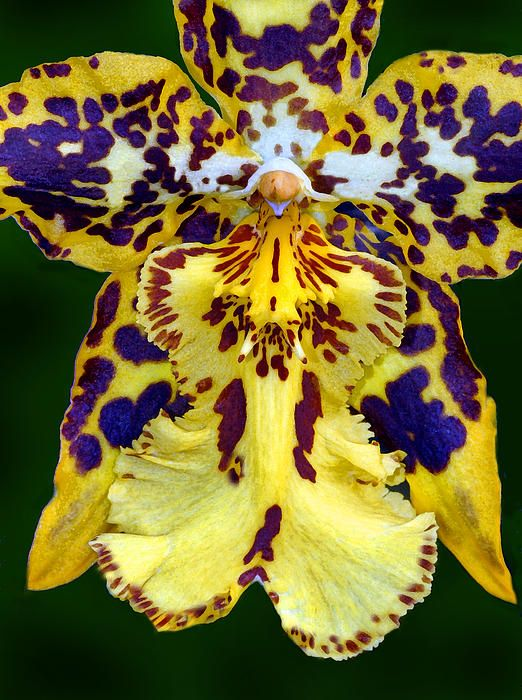 Incredible Orchid... Look at those colors... Stunning.