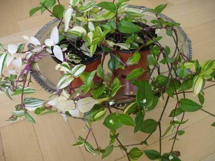 Wandering Jew Plant / Inch Plant (Tradescantia zebrina / Zebrina pendula) | Our House Plants #wanderingjewplant