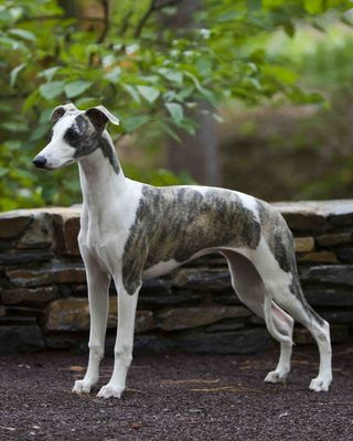 Whippet. FCI Group 10 Sighthounds Pinterest