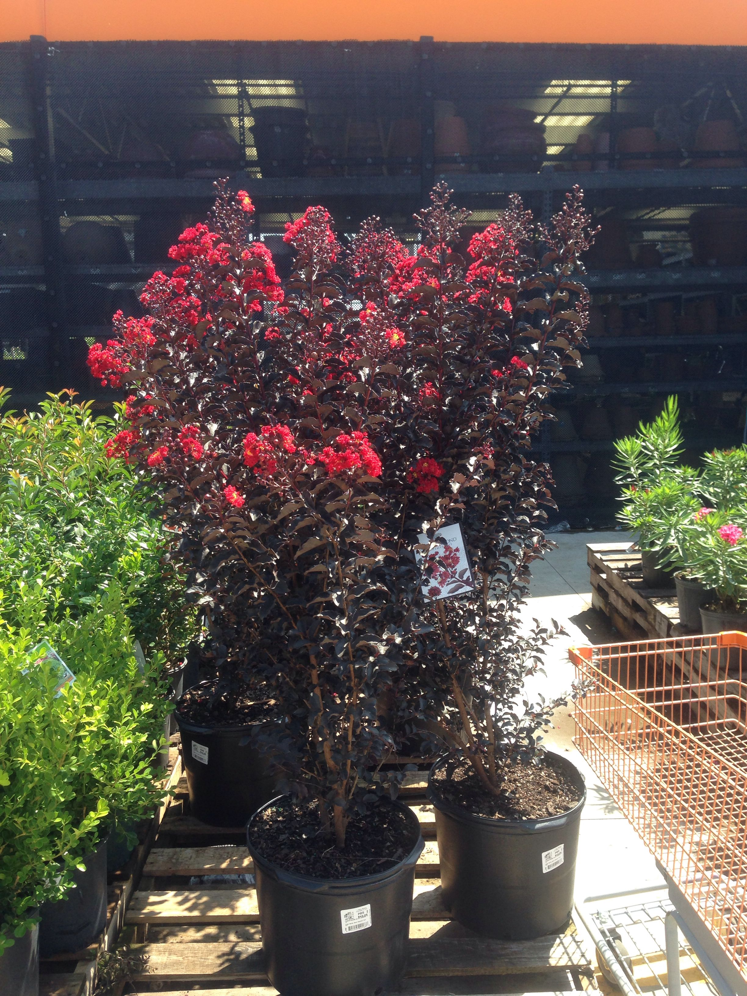 Cool Black Diamond Crape Myrtles Garden Yard Ideas Crape Myrtle Outdoor Plants