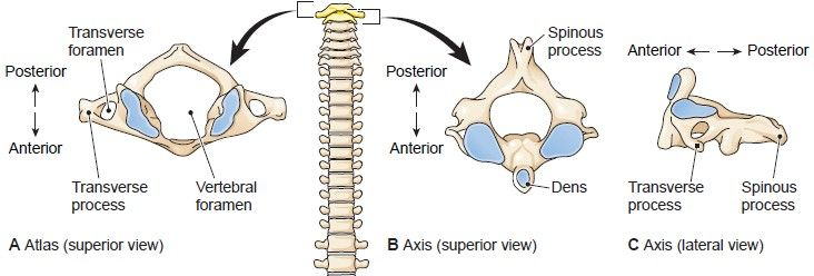 The First Two Cervical Vertebrae Anatomy Pinterest Cervical