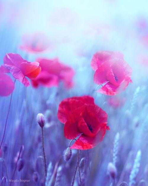 Poppies   by Magda_Bognar   http://ift.tt/1pUnOWD