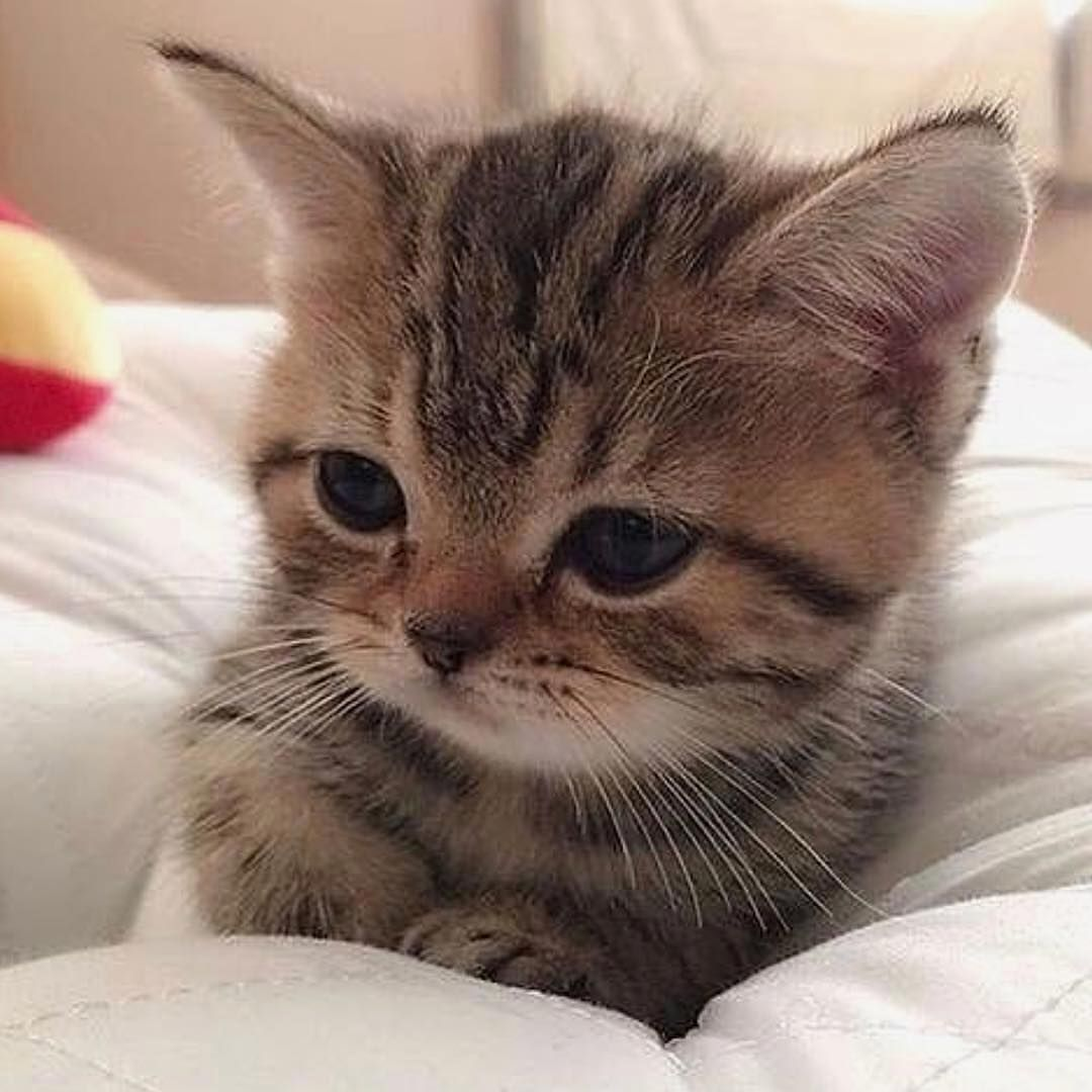 Pin By Diana On Diana Kittens Cutest Cute Cats Beautiful Cats