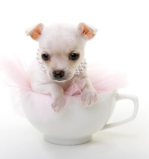 Typically Owners And Breeders May Refer To Their Ultra Small Chihuahuas Using Terms Such As These This Can Un Cute Chihuahua Teacup Chihuahua Puppies Puppies