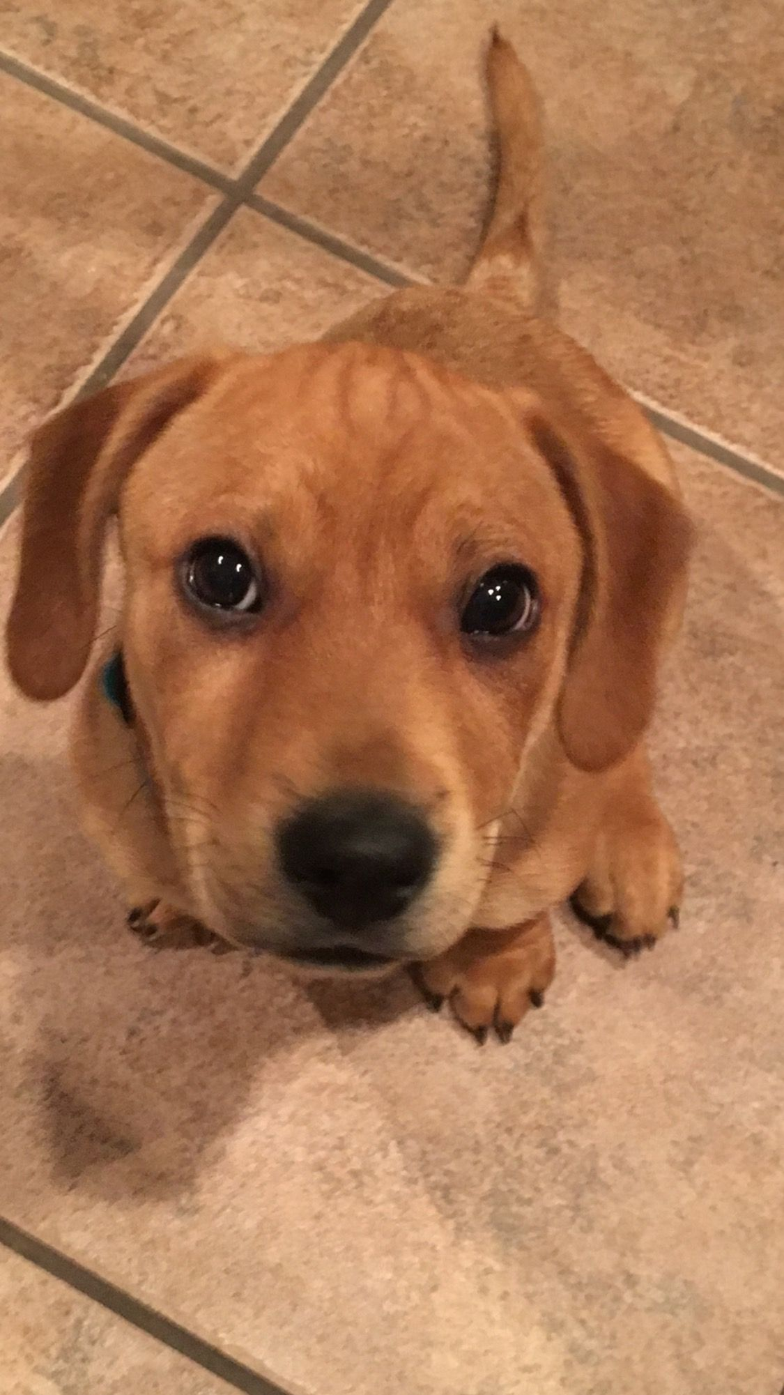 Labbe Dog For Adoption In Fort Worth Tx Adn 407572 On