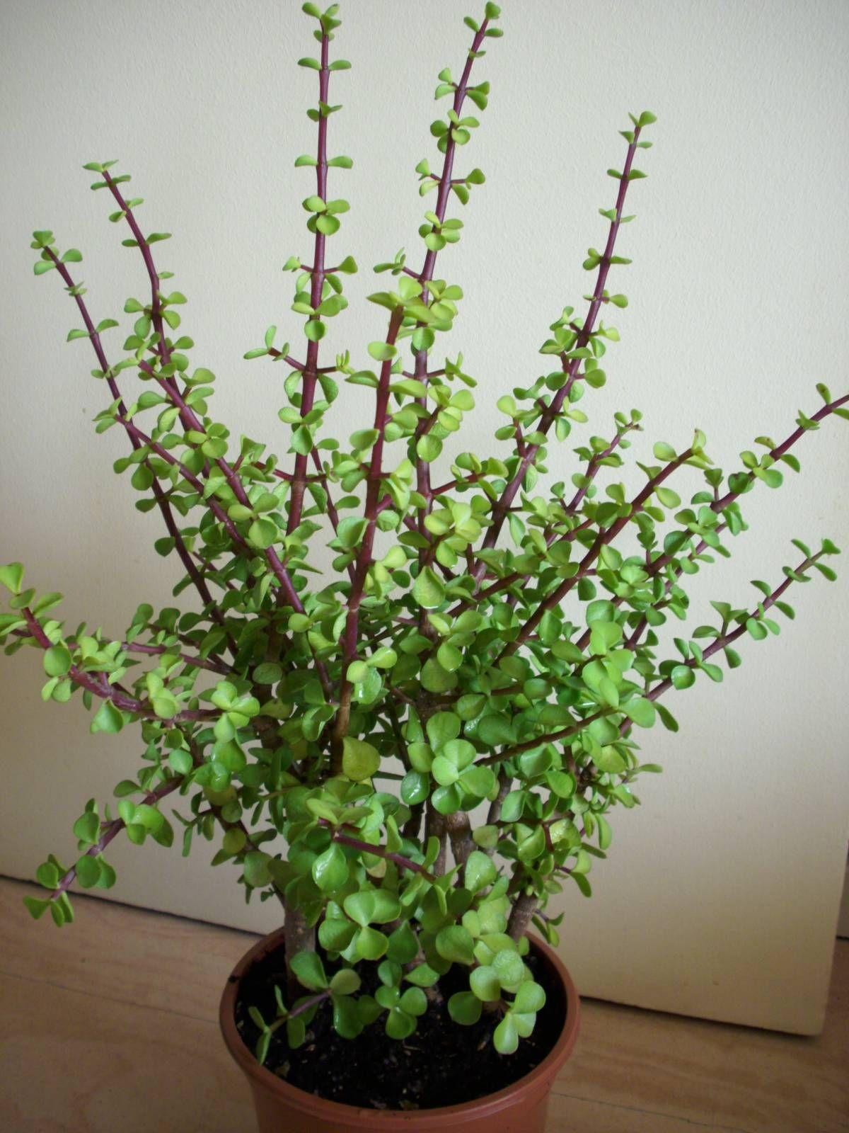 Portulacaria Afra Succulents Crassula Crassula Succulent Et