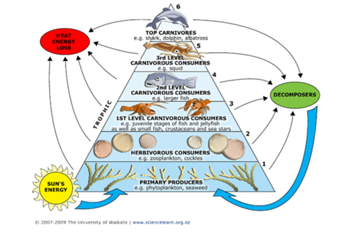 aquatic example of the trophic levels simple food chain, ecological  pyramid, ocean food web