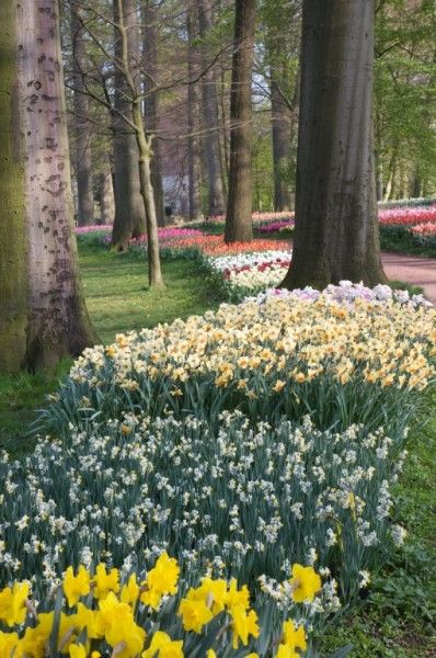 Amongst the narcissi and daffodils, very rare varieties can be discovered such as the papillon narcissus and numerous botanical varieties...i wish