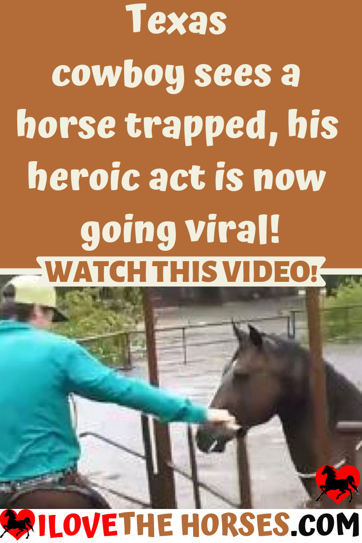 Texas Cowboy Horses Horse Trapped Heroic Viral Pet Pets