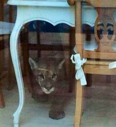 This Cougar had broken into an antique store.
