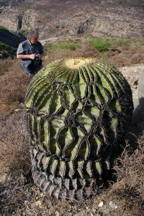 Echinocactus ingens, a monstrose forma, in habitat