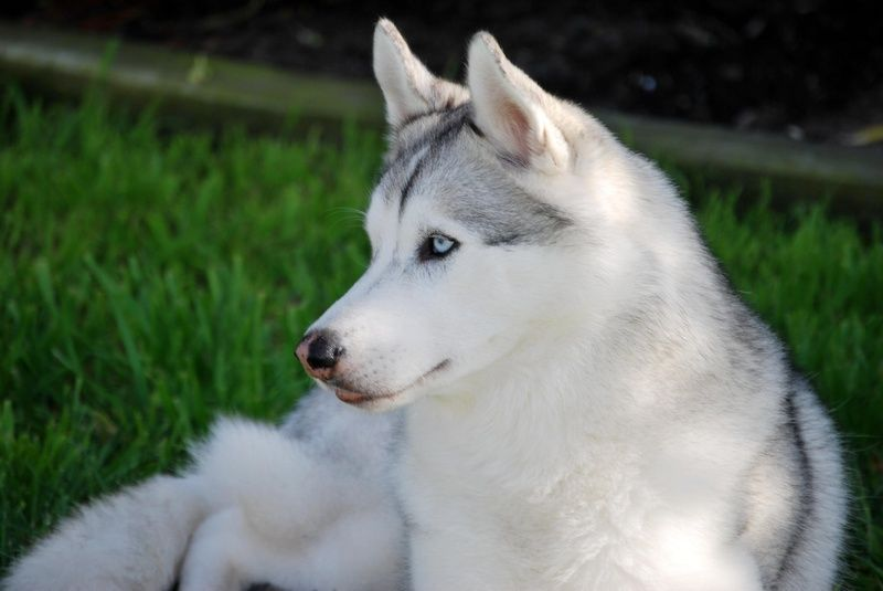 We Are Enthusiasts Of Quality Siberian Huskies Out Of Top Winning