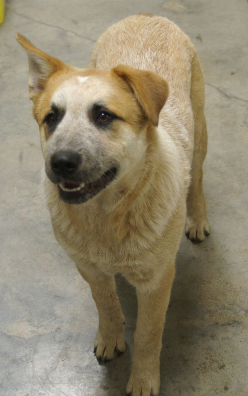 Adopt Rose On Aussie Cattle Dog Dog Photos Great Pyrenees