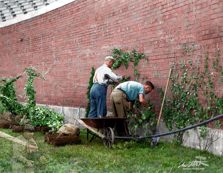 Planting the Ivy at Wrigley Field, 1937 history on color