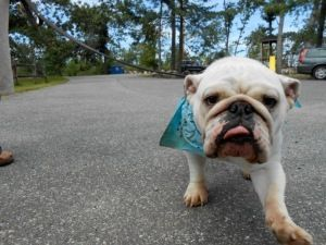 Storm Avail In Mass Is An Adoptable English Bulldog Dog In Stony