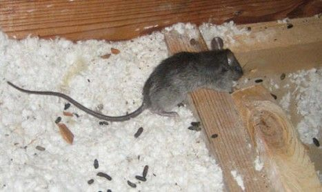Mice In A Roof Pest Control Empire Pest Control Mice Roof Rats Diy Pest Control