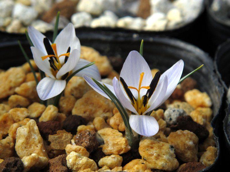 Crocus Biflorus Subsp Nuena From Janis Ruksans Bulb Nursery