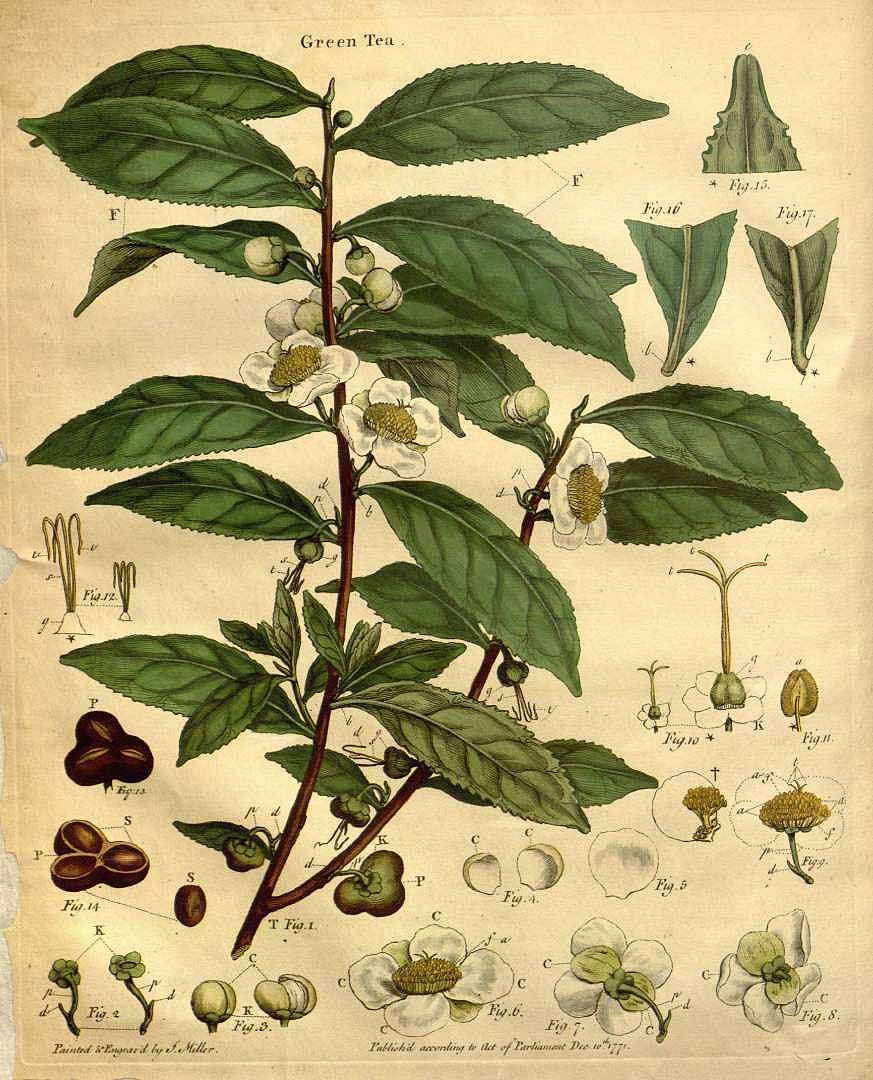 Camellia Sinensis Tea Plant Scientific Illustration 1799 Plant Illustration Green Tea Plant Tea Illustration