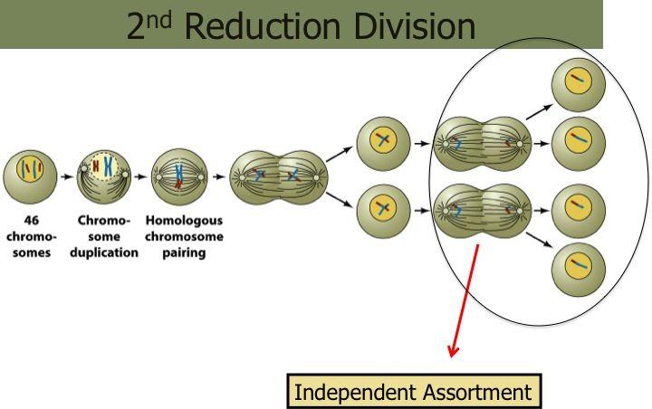 Pin On Elementary Genetics