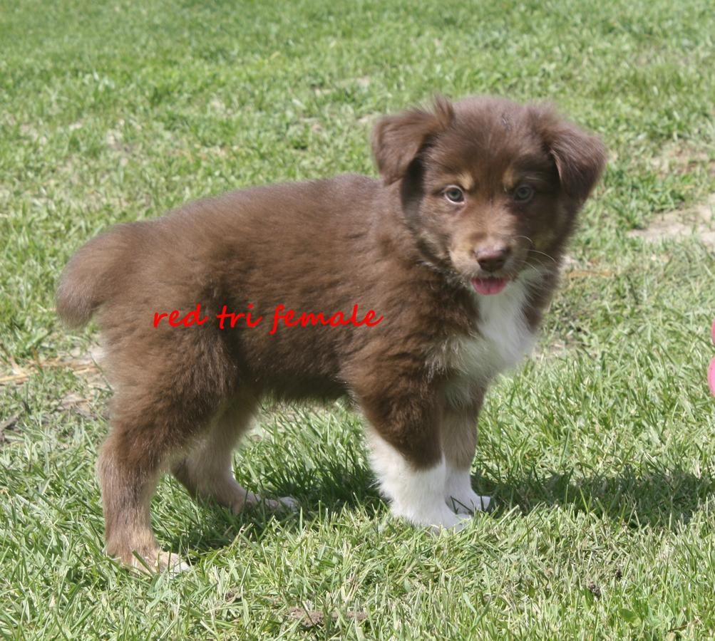 Australian Shepherd Standard Size Red Tri Black Tri And Blue