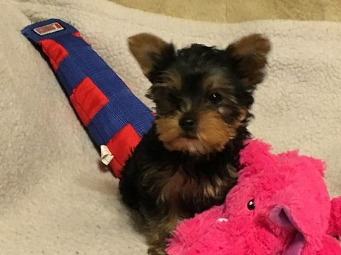 Yorkshire Terrier Puppy For Sale In Chicago Il Adn 23630 On