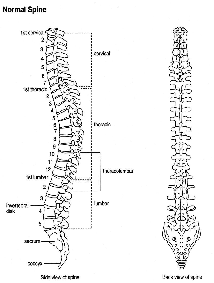 image result for vertebrae diagram [ 909 x 1200 Pixel ]
