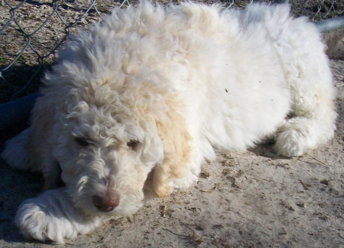 Akc Ckc Standard Poodle Puppies Male Large In Richlands North