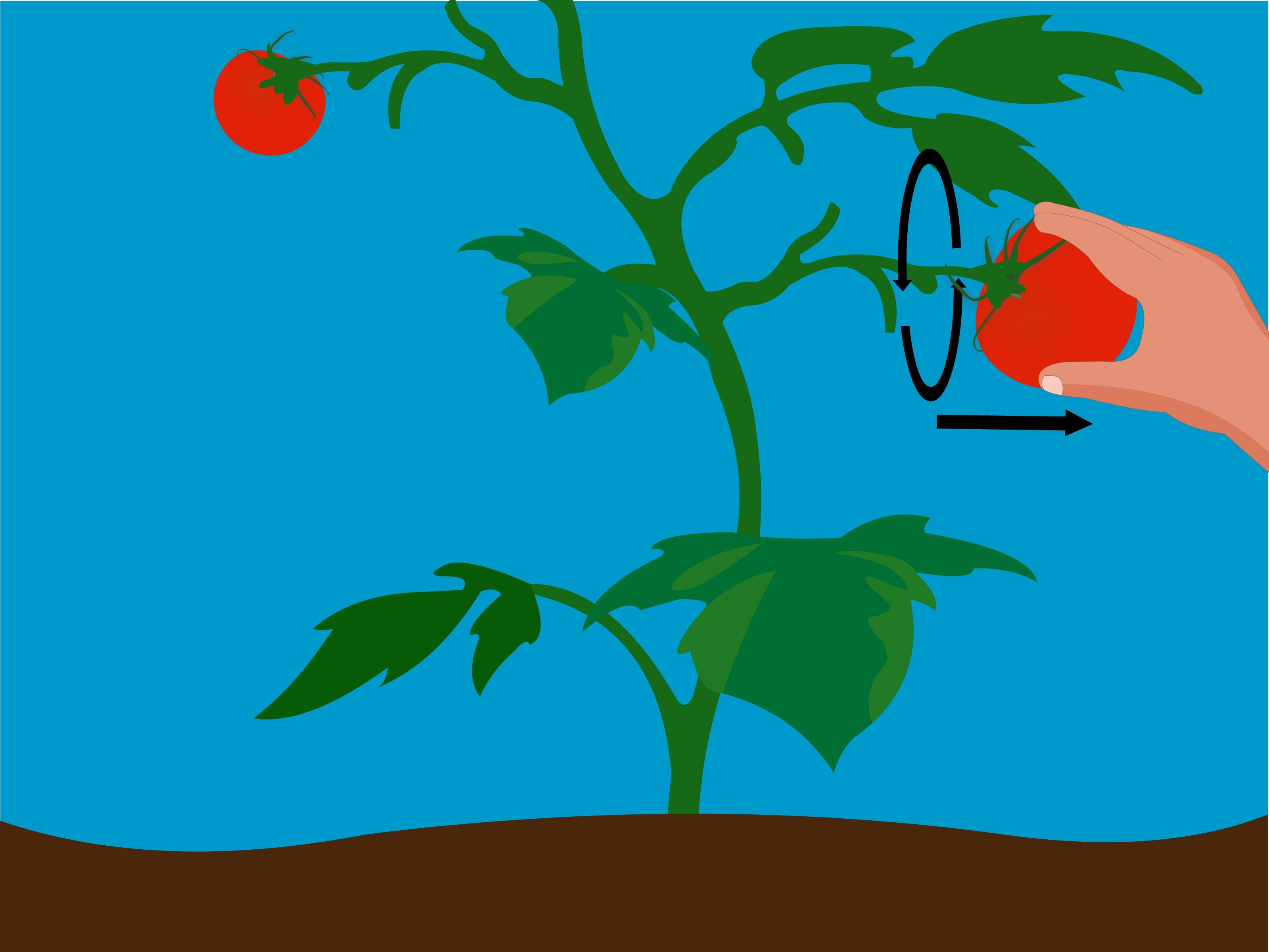 faire pousser des tomates partir de graines jardin. Black Bedroom Furniture Sets. Home Design Ideas