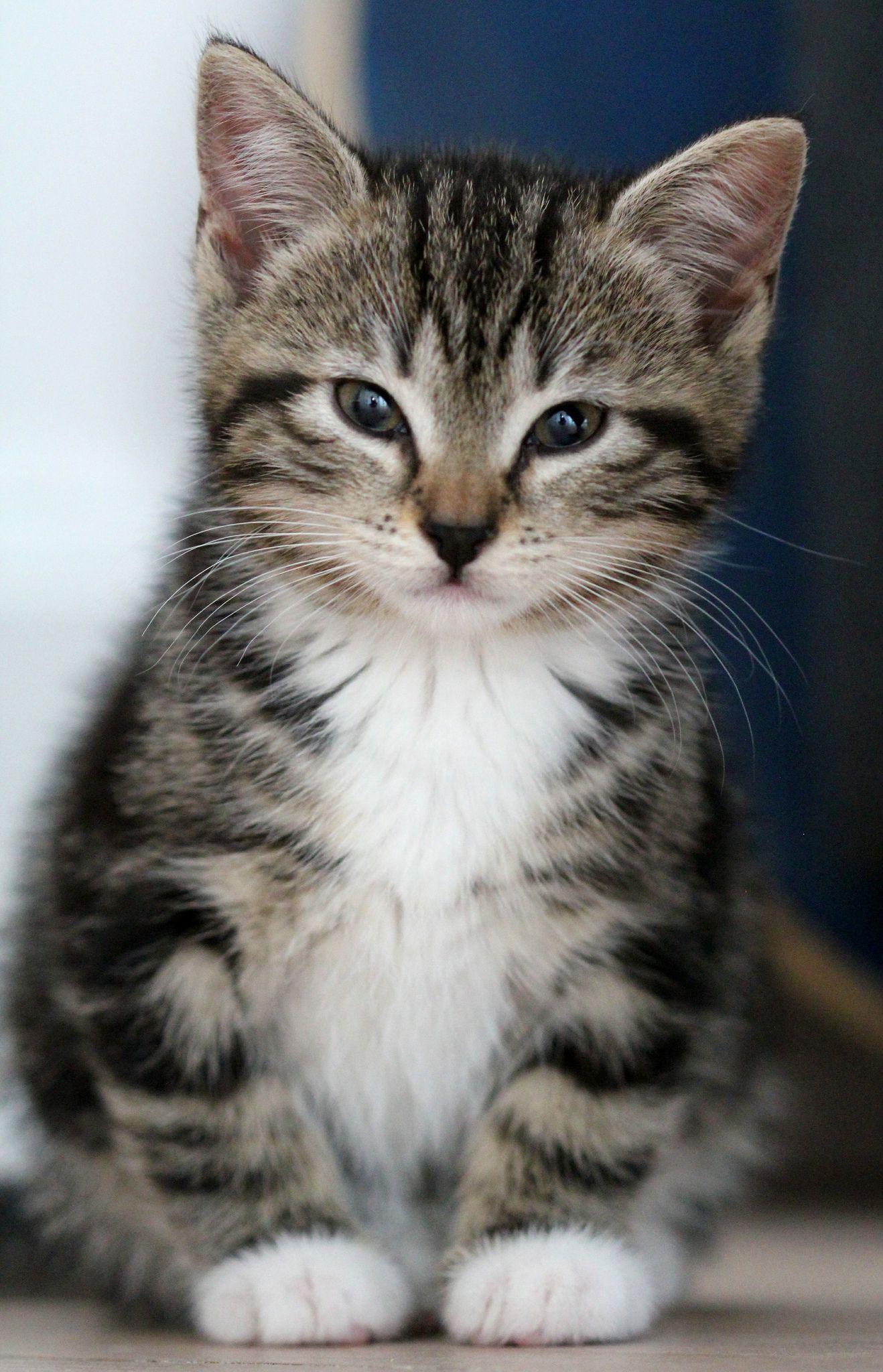 Kitten Kittens cutest, Kittens, Beautiful cats