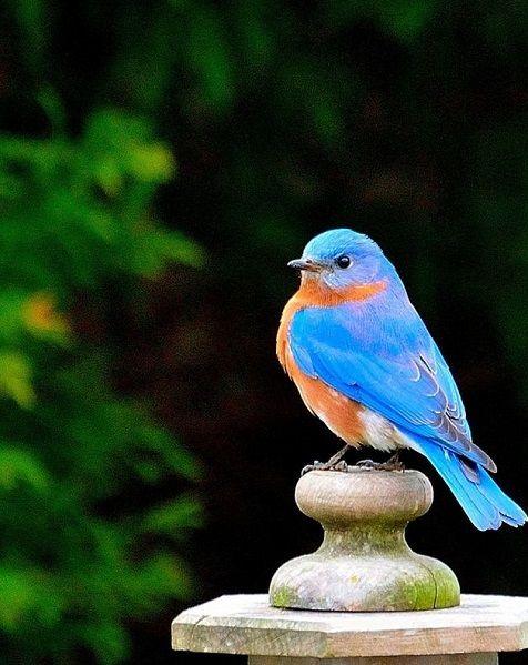 Handsome Eastern Bluebird
