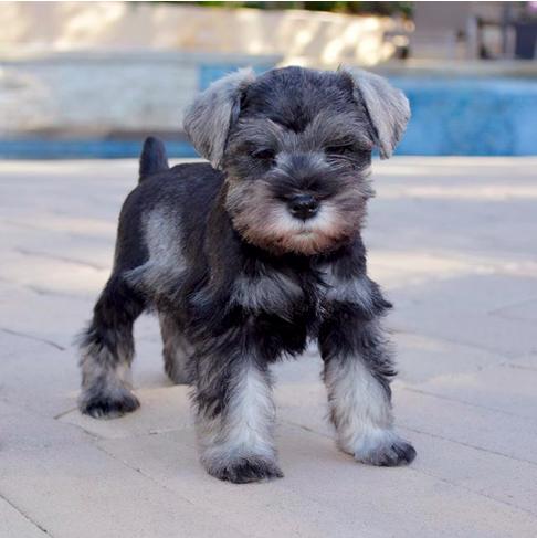 Puppy Mini Schnauzer For Sale Schnauzer Schnauzer Breed Schnauzer Puppy