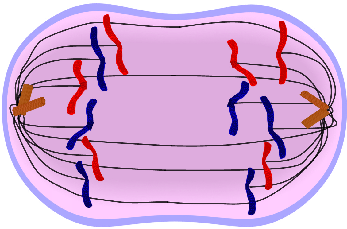 Image result for anaphase mitosis