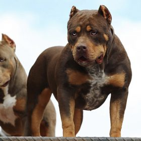 World Renowned 1 Xl Xxl American Bully Breeder American Bully