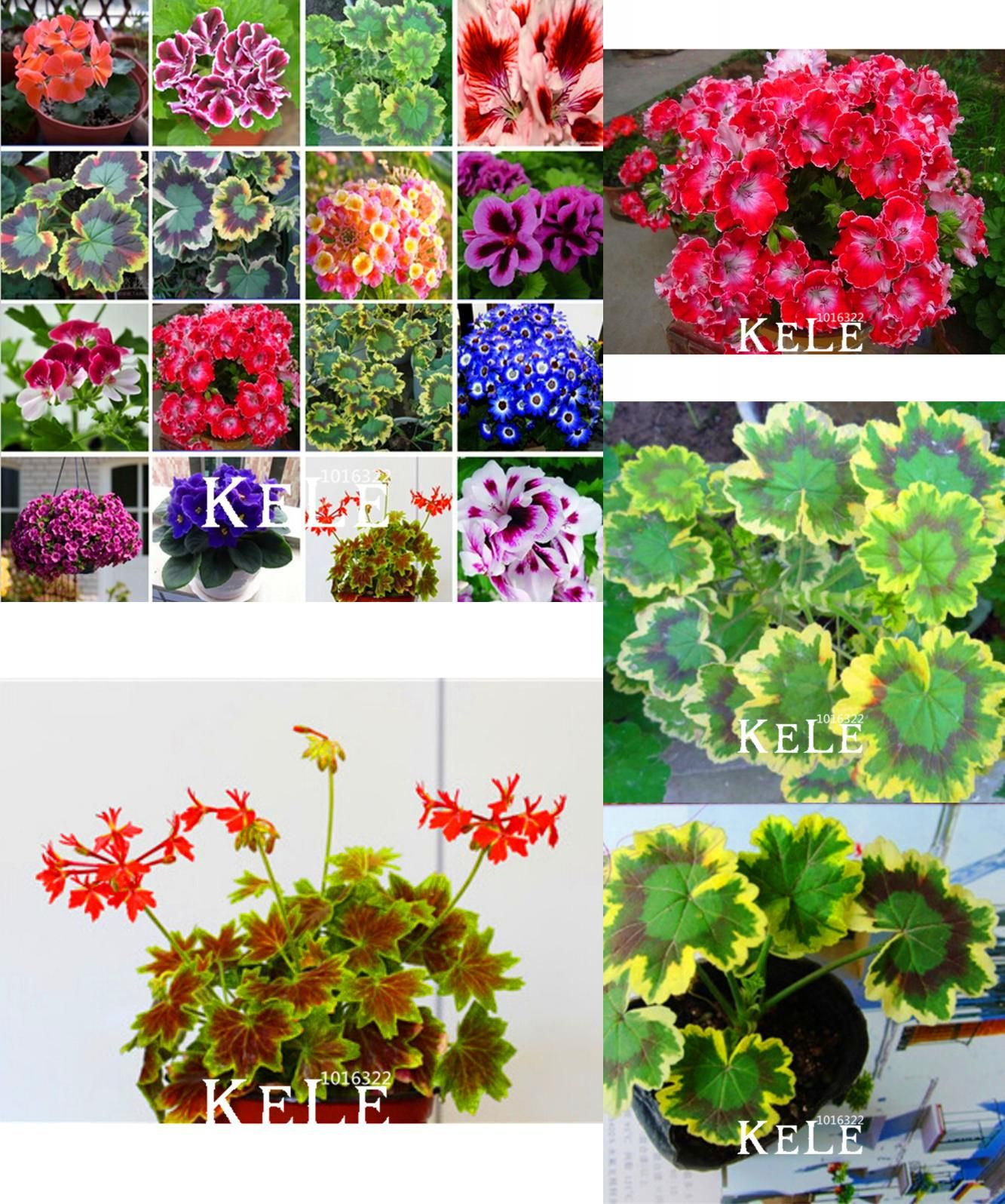 Visit to buy loss promotionhot sale purple univalve geranium seeds cheap seeds for sale buy quality seeds perennial directly from china seeds pelargonium suppliers loss promotionhot sale purple univalve geranium seeds izmirmasajfo