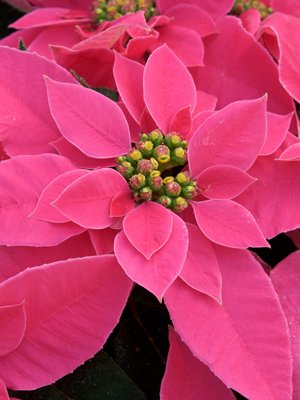 Dark Pink Princettia For Growers Christmas Flowers Beautiful Flowers Flowers